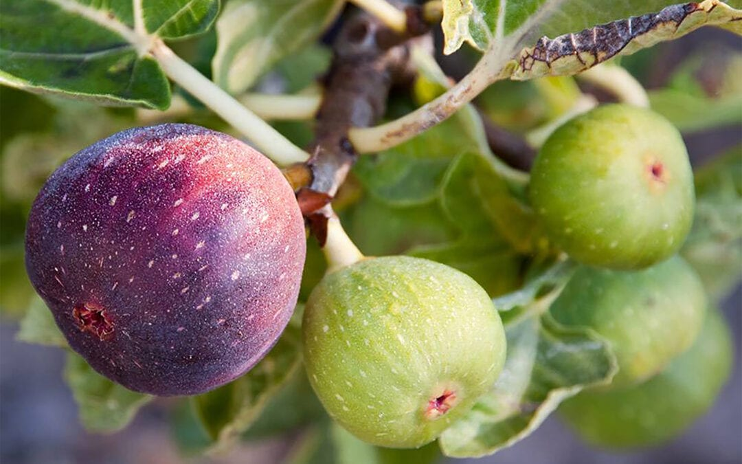 growing-figs-in-the-pacific-northwest