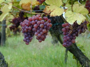 growing-grapes