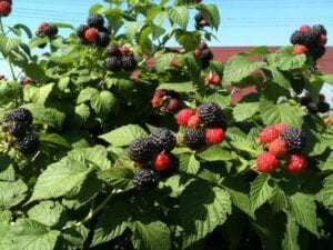 how-to-grow-raspberries