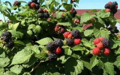 How to Grow Raspberries in the Pacific Northwest