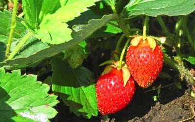 How To Grow Strawberries in the Pacific Northwest