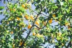 growing-fruit-trees