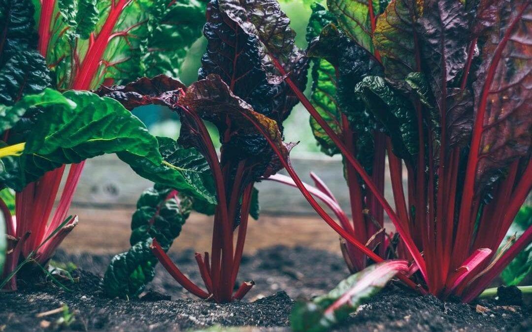 growing-rhubarb