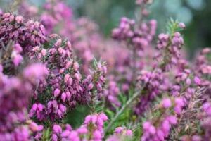 heathers-plants