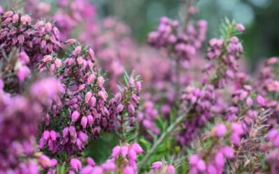 Planting and Growing the Heather Plant