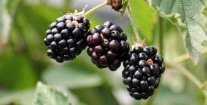 how-to-grow-blackberries