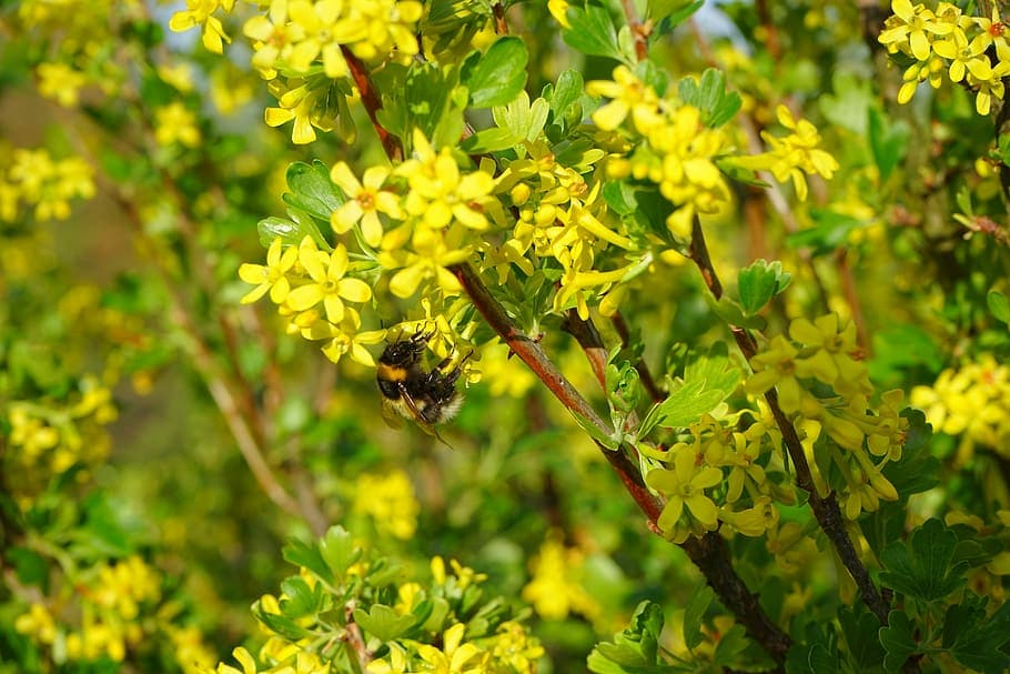 ribes-aureum-flowers-yellow-bush-oregon-native-plants