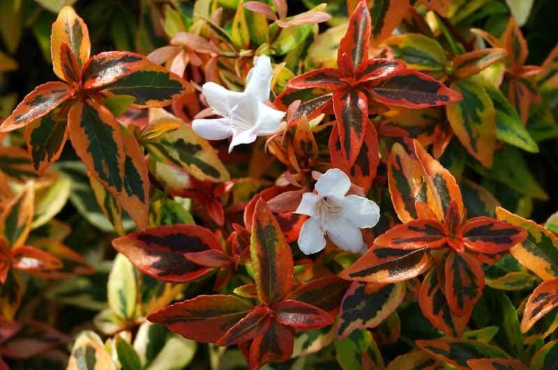 Abelia grandiflora Abelia