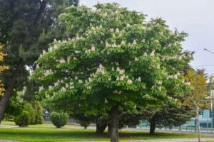 Aescules-tree-for-attracting-butterflies