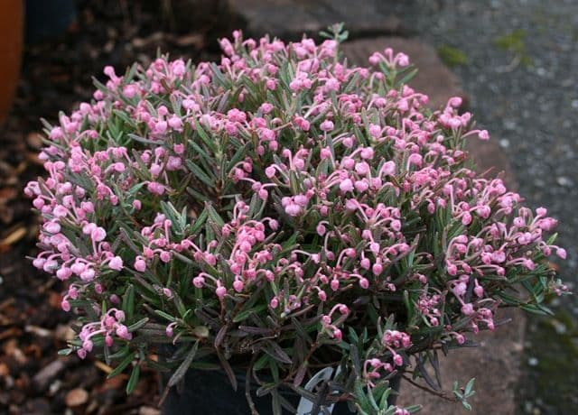 Andromeda Polifolia - Bog Rosemary