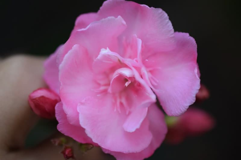 Jean May Camellia