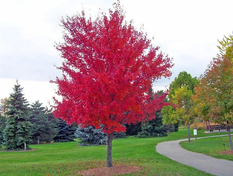 Red-Maple-Trees-For-Wet-Areas