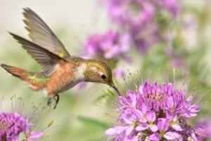 attracting hummingbirds