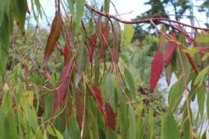 eucalyptus thrives in wet beach environments