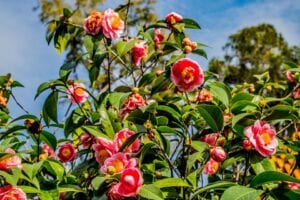 camellias-for-hummingbirds