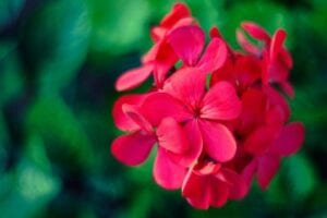 geraniums-to-attract-ladybugs