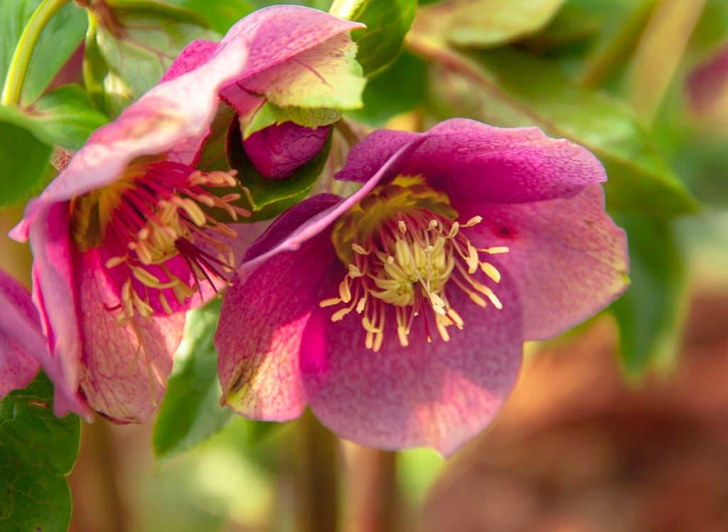 helleborus-lenten-rose