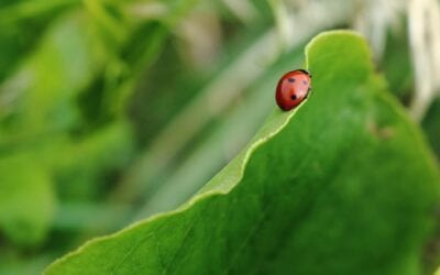 How to Attract Ladybugs to Your Garden and Keep Them There