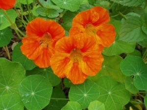 nasturiums-for-attracting-hummingbirds