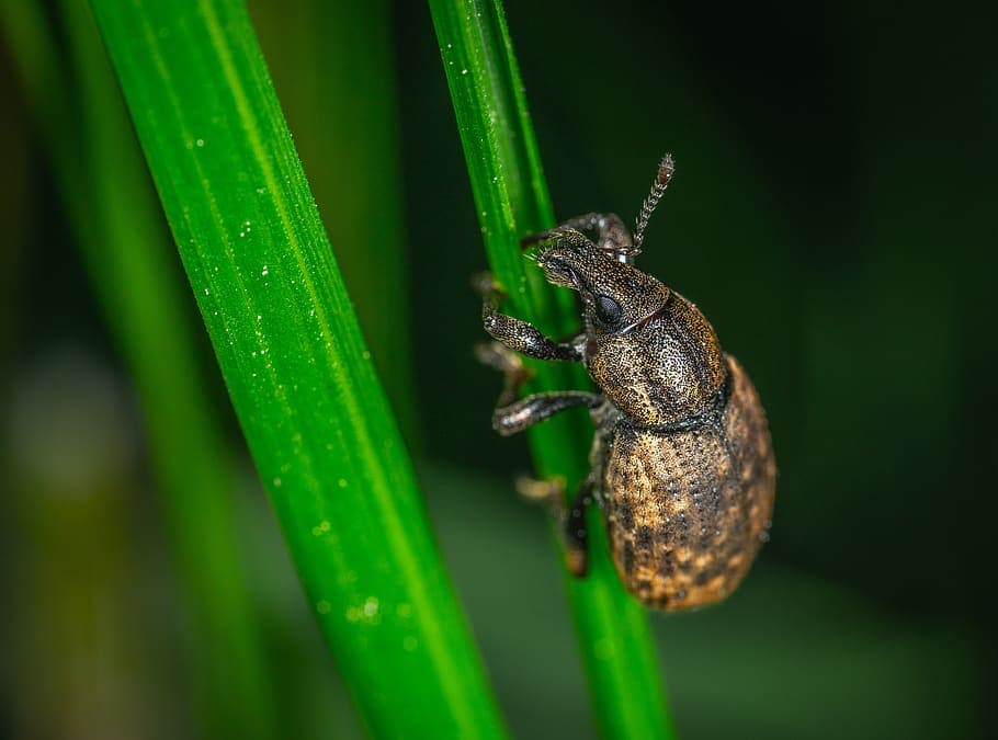 root-weevil-closeup